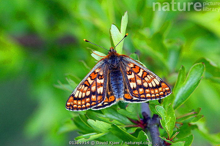 Marsh Fritillary butterfly (Euphydryas aurinia) at rest on leaf, with wings open, Wiltshire, England, UK., ARTHROPODS,BUTTERFLIES,ENGLAND,INSECTS,INVERTEBRATES,LEPIDOPTERA,UK,Europe,United Kingdom, David Kjaer