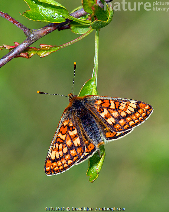 Marsh Fritillary butterfly (Euphydryas aurinia) at rest on leaf, with wings open, Wiltshire, England, UK., ARTHROPODS,BUTTERFLIES,ENGLAND,INSECTS,INVERTEBRATES,LEPIDOPTERA,PORTRAITS,UK,VERTICAL,Europe,United Kingdom, David Kjaer