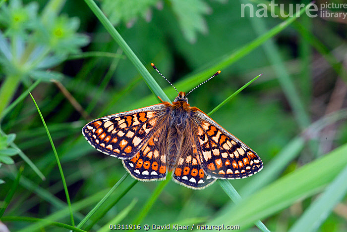 Marsh Fritillary butterfly (Euphydryas aurinia) at rest on grass stem with wings open, Wiltshire, England, UK., ARTHROPODS,BUTTERFLIES,ENGLAND,INSECTS,INVERTEBRATES,LEPIDOPTERA,PORTRAITS,UK,Europe,United Kingdom, David Kjaer