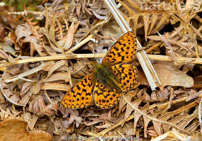Pearl-bordered Fritillary butterfly (Boloria euphrosyne) at rest on leaf litter, on woodland floor, Bentley Wood, Wiltshire, England, UK., BUTTERFLIES,ENGLAND,INSECTS,INVERTEBRATES,LEPIDOPTERA,PORTRAITS,UK,WOODLANDS,Europe,United Kingdom, David Kjaer