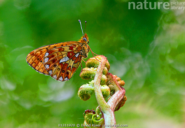 Pearl-bordered Fritillary butterfly (Boloria euphrosyne) at rest on Bracken with wings closed, Bentley Wood, Wiltshire, England, UK, BUTTERFLIES,ENGLAND,INSECTS,INVERTEBRATES,LEPIDOPTERA,PORTRAITS,SPRING,UK,Europe,United Kingdom, David Kjaer
