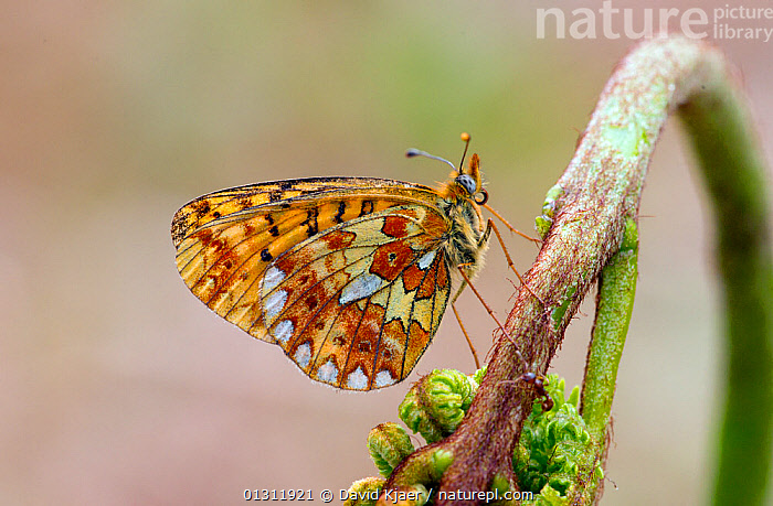 Pearl-bordered Fritillary butterfly (Boloria euphrosyne) at rest on Bracken with wings closed, Bentley Wood, Wiltshire, England, UK, BUTTERFLIES,ENGLAND,INSECTS,INVERTEBRATES,LEPIDOPTERA,PORTRAITS,UK,Europe,United Kingdom, David Kjaer