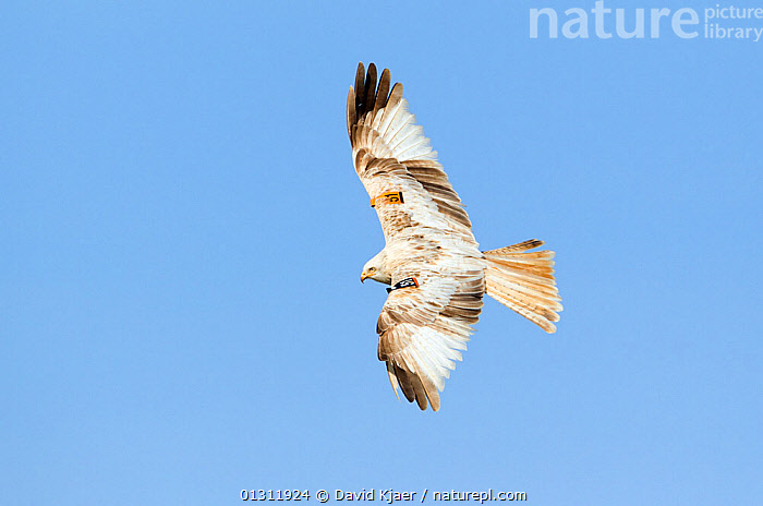 Red Kite (Milvus milvus) a very pale coloured bird with a wing wing tag, in flight, Wales, UK. March., BEHAVIOUR,BIRDS,BIRDS OF PREY,COLOUR,CONSERVATION,FLYING,HUNTING,KITES,MORPH,UK,VERTEBRATES,WALES,WHITE,Europe,United Kingdom, David Kjaer