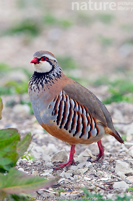 Red-legged Partridge (Alectoris rufa) portrait of male, walking, Wiltshire, England, UK., BIRDS,GALLIFORMES,GAME BIRDS,MALES,PARTRIDGE,PORTRAITS,UK,VERTEBRATES,VERTICAL,Europe,United Kingdom, David Kjaer