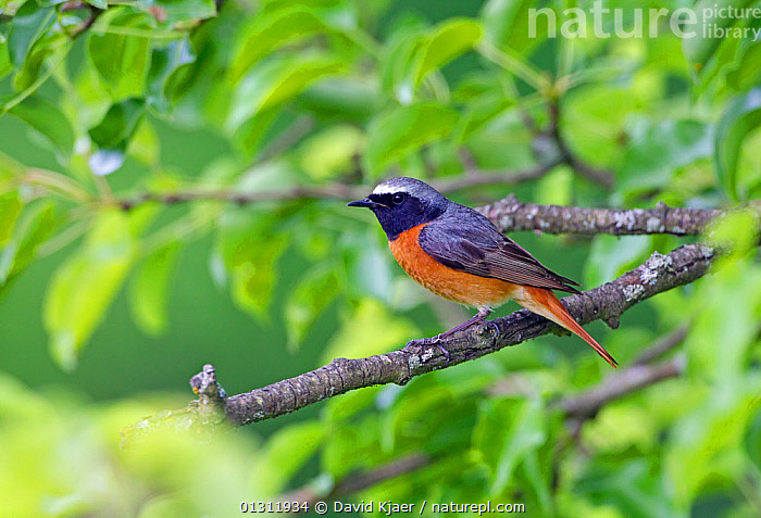 Redstart (Phoenicurus phoenicurus) male perched on tree branch, Worcestershire, England, UK. June., BIRDS,ENGLAND,MALES,REDSTARTS,UK,VERTEBRATES,WOODLANDS,Europe,United Kingdom, David Kjaer