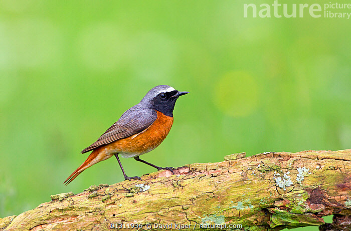 Redstart (Phoenicurus phoenicurus) male perched on tree stump, Worcestershire, England, UK. June., BIRDS,ENGLAND,MALES,REDSTARTS,UK,VERTEBRATES,WOODLANDS,Europe,United Kingdom, David Kjaer
