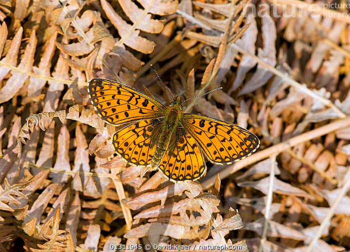 Small Pearl-bordered Fritillary butterfly (Boloria selene) at rest on dead Bracken frond, in woodlands, Wiltshire, England, UK.  ,  BUTTERFLIES,ENGLAND,INSECTS,INVERTEBRATES,LEPIDOPTERA,PATTERNS,UK,WOODLANDS,Europe,United Kingdom  ,  David Kjaer