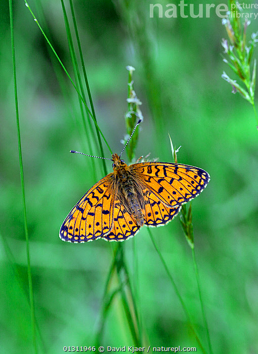 Small Pearl-bordered Fritillary butterfly (Boloria selene) at rest on grass stem, Worcestershire, England, UK.  ,  BUTTERFLIES,ENGLAND,INSECTS,INVERTEBRATES,LEPIDOPTERA,MEADOWLAND,UK,VERTICAL,Europe,Grassland,United Kingdom  ,  David Kjaer