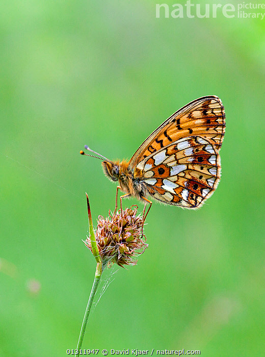 Small Pearl-bordered Fritillary butterfly (Boloria selene) at rest on grass stem, Worcestershire, England, UK., BUTTERFLIES,ENGLAND,INSECTS,INVERTEBRATES,LEPIDOPTERA,MEADOWLAND,PORTRAITS,UK,VERTICAL,Europe,Grassland,United Kingdom, David Kjaer