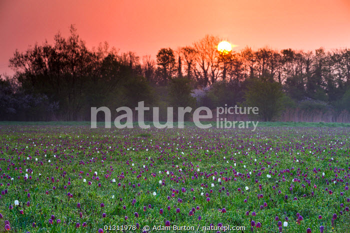 Sunrise over a meadow of Snake's Head fritillary (Fritillaria meleagris) wildflowers growing at North Meadow National Nature Reserve, Cricklade, Wiltshire. April 2009, DAWN,ENGLAND,FLOWERS,GRASSLAND,LANDSCAPES,LILIACEAE,MEADOWLAND,MONOCOTYLEDONS,PLANTS,PURPLE,SPRING,SUNRISE,TRADITIONAL,UK,WOODLANDS,Europe,United Kingdom,core collection xtwox, Adam Burton