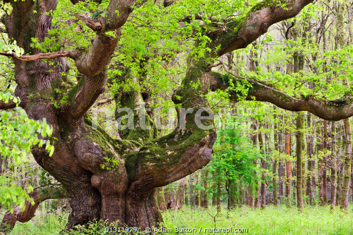 Ancient Oak tree (Quercus robur) growing in Savernake Forest in springtime, Marlborough, Wiltshire, England. May 2009, ancient,catalogue3,close up,CLOSE UPS,DICOTYLEDONS,ENGLAND,FAGACEAE,FORESTS,gnarled,GROWTH,LANDSCAPES,Marlborough,Mature,MOSS,Nobody,OLD,outdoors,PLANTS,Savernake Forest,SPRING,springtime,TREES,UK,veteran,Wiltshire,woodland,Europe,Concepts,United Kingdom, Adam Burton