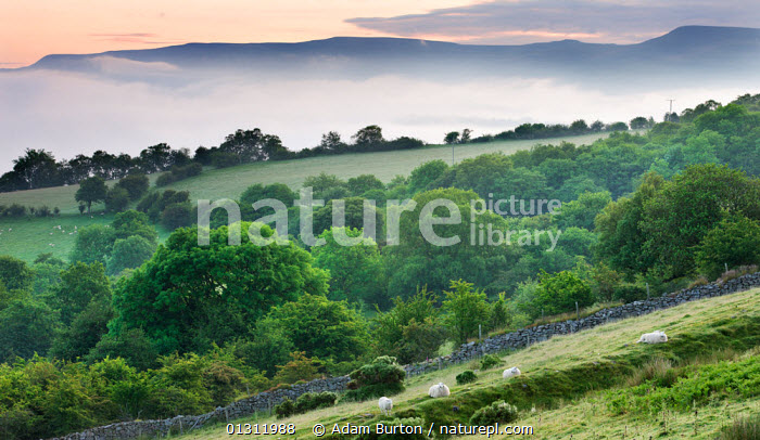 Mist approaching the sloped fields and woodland above the Usk Valley near Llangynidr, Brecon Beacons, Powys, Wales, UK. June 2009, ATMOSPHERIC,BRECON BEACONS,COUNTRYSIDE,EUROPE,FARMLAND,HILLS,LANDSCAPES,MIST,NP,RURAL,SHEEP,UK,UPLAND,National Park,United Kingdom, Adam Burton