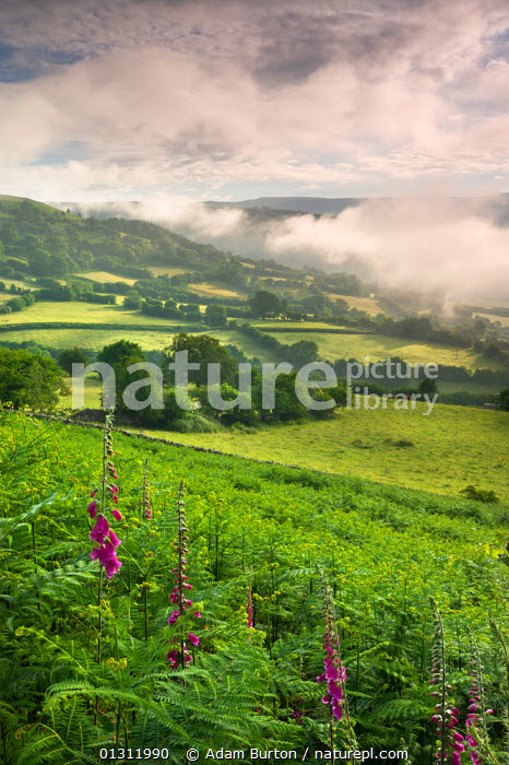 Foxgloves (Digitalis) flowering and mist hanging over countryside near Bwlch, Brecon Beacons National Park, Powys, Wales, UK. June 2009, ATMOSPHERIC,BRECON BEACONS,COUNTRYSIDE,DICOTYLEDONS,FIELDS,FLOWERS,LANDSCAPES,MIST,NP,PLANTS,RURAL,SCROPHULARICEAE,SUMMER,UK,UPLAND,VERTICAL,WEATHER ,National Park,WALES,Europe,United Kingdom,core collection xtwox, Adam Burton