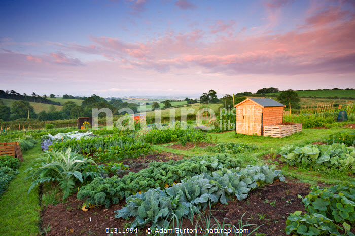 Vegetables growing on a rural allotment, Morchard Bishop, Devon, England. July 2009, allotment,allotments,BRASSICA OLERACEA CAPITATA,cabbages,catalogue3,cloudy,COUNTRYSIDE,Devon,ENGLAND,EUROPE,fields,GARDENS,hobbies,LANDSCAPES,Morchard Bishop,Nobody,outdoors,rural,self sufficiency,self sufficient,shed,sheds,SKY,small holding,SUMMER,UK,VEGETABLES,United Kingdom, Adam Burton