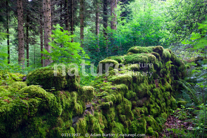 Moss covered remains of a dry stone wall in a woodland, Brecon Beacons National Park, Powys, Wales, UK. July 2009, ancient,ATMOSPHERIC,boundary,Brecon Beacons,catalogue3,COUNTRYSIDE,damp,dry stone wall,EUROPE,FORESTS,GREEN,LANDSCAPES,MOSS,moss covered,Nobody,NP,outdoors,PINE TREE ,Powys,rural,Scenic,SUMMER,UK,upland,WALES,wall,woodland,National Park,United Kingdom, Adam Burton