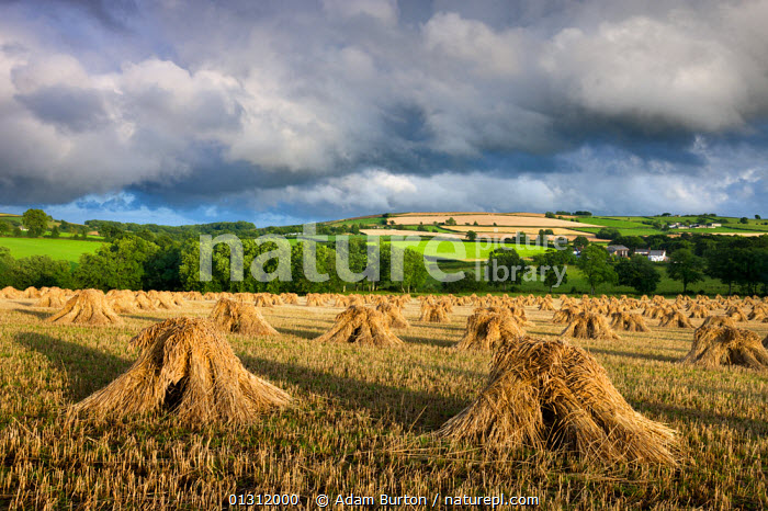 Harvested corn stacked traditionally in stooks for use in roof thatching, Coldridge, Mid Devon, England. July 2009, ARABLE,CEREALS,CORN,EUROPE,FARMLAND,FIELDS,LANDSCAPES,STUBBLE,SUMMER,THATCH,TRADITIONAL,UK,WHEAT,United Kingdom, Adam Burton