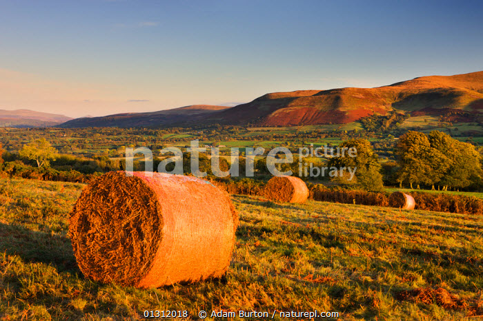 Bracken (Pteridium aquilinum) bales on Mynydd Illtud Common, to be used for livestock bedding, in the Brecon Beacons National Park, Powys, Wales, UK. October 2009, AUTUMN,BRECON BEACONS,COUNTRYSIDE,CROPS,DENNSTAEDTIACEAE,FARMLAND,FERNS,FIELDS,LANDSCAPES,MOUNTAINS,NP,PLANTS,PTERIDOPHYTES,RURAL,UK,UPLAND,WALES,National Park,Europe,United Kingdom, Adam Burton