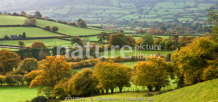 Panoramic view of rolling countryside in autumn colours near Bwlch, Brecon Beacons National Park, Powys, Wales, UK. October 2009, ATMOSPHERIC,AUTUMN,BRECON BEACONS,COUNTRYSIDE,EUROPE,FARMLAND,FIELDS,HEDGEROWS,LANDSCAPES,MOUNTAINS,NP,PANORAMIC,RURAL,TREES,UK,UPLAND,National Park,PLANTS,United Kingdom, Adam Burton