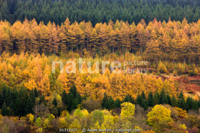 Rows of deciduous and coniferous trees in autumn colours, Brecon Beacons National Park, Powys, Wales, UK. October 2009, AUTUMN,BRECON BEACONS,COLOURFUL,CONIFERS,COUNTRYSIDE,EUROPE,FORESTS,LANDSCAPES,NP,ORANGE,PATTERNS,PINE TREE ,STRIPES,UK,UPLAND,WALES,National Park,United Kingdom, Adam Burton