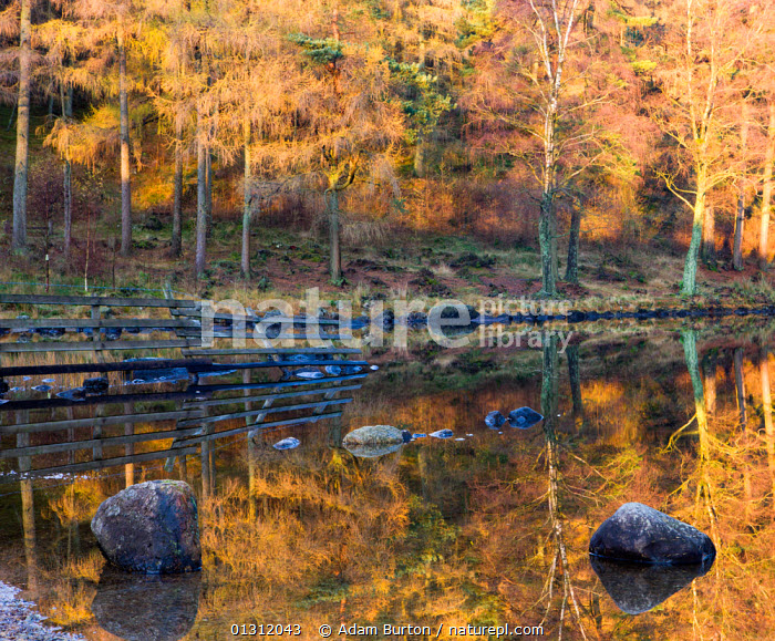 Golden Larch (Larix) trees reflected in the still waters of Blea Tarn, Lake District National Park, Cumbria, England, UK. November 2009, ATMOSPHERIC,AUTUMN,COLOURFUL,CONIFERS,ENGLAND,GYMNOSPERMS,LAKE DISTRICT,LAKES,LANDSCAPES,NP,ORANGE,PINACEAE,PINES,PLANTS,REFLECTIONS,TREES,UK,UPLAND,Europe,National Park,United Kingdom, Adam Burton