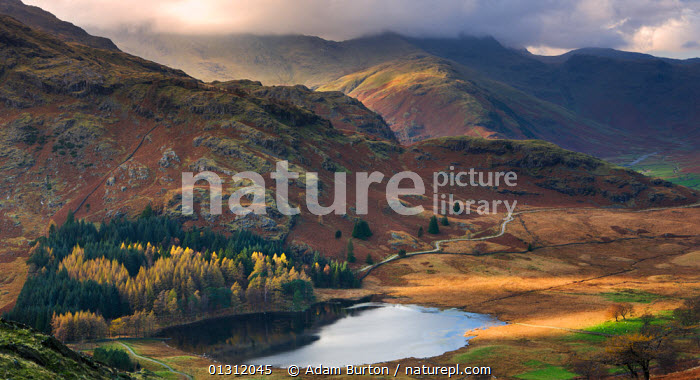 Blea Tarn and Wrynose Fell in the Lake District National Park, Cumbria, England, UK. November 2009, ATMOSPHERIC,AUTUMN,Blea Tarn,catalogue3,CLOUDS,cloudy,COLOURFUL,CONIFERS,COUNTRYSIDE,cumbria,elevated view,ENGLAND,fells,FORESTS,Lake,lake district,LAKES,LANDSCAPES,MOORLAND,Mountain,MOUNTAINS,Mountainside,national trust,Nobody,November,NP,ORANGE,outdoors,overcast,REFLECTIONS,rural,Scenic,tourist destination,Travel,TREES,UK,upland,WINTER,woodland,Wrynose Fell,Weather,Europe,National Park,PLANTS,United Kingdom, Adam Burton