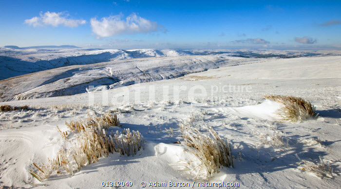 Frozen grass on the snow covered slopes of Pen y Fan mountain, Brecon Beacons National Park, Powys, Wales, UK. January 2010, BRECON BEACONS,EUROPE,GRASSES,ICE,LANDSCAPES,MOORLAND,MOUNTAINS,NP,SNOW,UK,UPLAND,WALES,WHITE,WINTER,National Park,United Kingdom, Adam Burton
