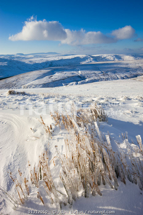 Frozen grass on the snow covered slopes of Pen y Fan mountain in the Brecon Beacons National Park, Powys, Wales, UK. January 2010  ,  Brecon Beacons,catalogue3,cloudy,COLD,Frozen,GRASSES,ICE,icicle,LANDSCAPES,MOORLAND,Mountain,mountain range,MOUNTAINS,Nobody,NP,outdoors,Pen y Fan,Powys,Scenic,SKY,SNOW,Snowdonia,UK,upland,VERTICAL,WALES,WINTER,National Park,Europe,United Kingdom  ,  Adam Burton