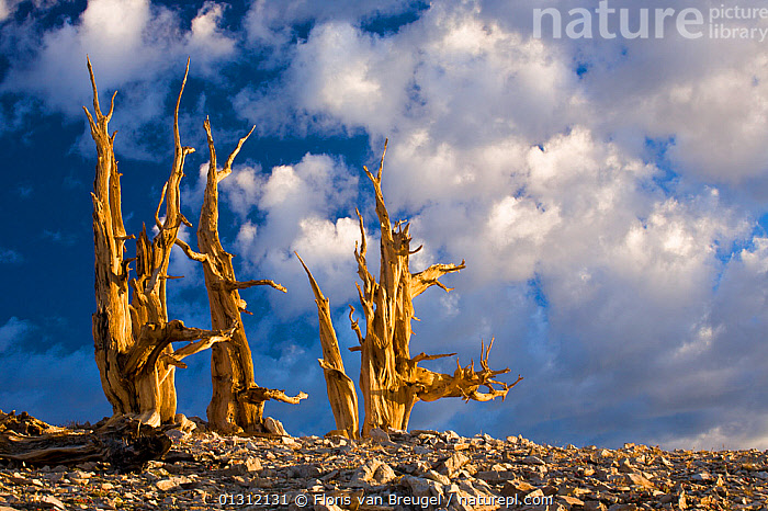 Ancient Bristlecone Pine trees (Pinus Longaeva) in morning sunlight, White Mountains, California, USA July 2007  ,  CLOUDS,COLOURFUL,CONIFEROUS,CONIFERS,DEAD,DRAMATIC,LANDSCAPES,NORTH AMERICA,PINACEAE,SKIES,TREES,USA,Weather,PLANTS  ,  Floris van Breugel