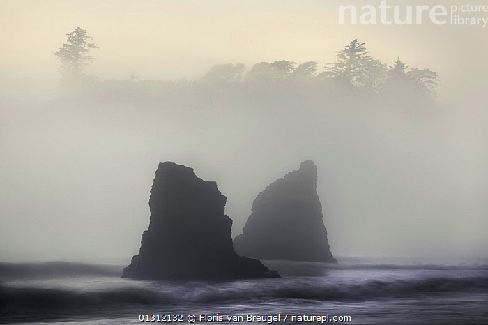 View of Pacific coastline in fog and mist, Ruby Beach, Olympic National Park, Washington, USA, June 2008, bad weather,catalogue3,coastal,coastline,COASTS,DRAMATIC,Fog,LANDSCAPES,MIST,misty,Nobody,NORTH AMERICA,OCEANS,Olympic National Park,Ominous,outdoors,PACFIC,PACIFIC,pacific ocean,rock formation,rough sea,Ruby Beach,sea,TREES,USA,view to land,Washington State,WAVES,WEATHER,WINTER,PLANTS, Floris van Breugel
