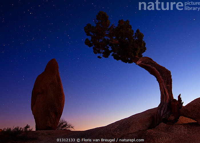 Juniper Tree (Juniperus thurifera) at night, silhouetted next to standing rock, Joshua Tree National Park. California, USA, January 2009, CONIFERS,CUPRESSACEAE,DRAMATIC,GYMNOSPERMS,LANDSCAPES,NORTH AMERICA,NP,PLANTS,SILHOUETTES,SKIES,STARS,USA,National Park, Floris van Breugel