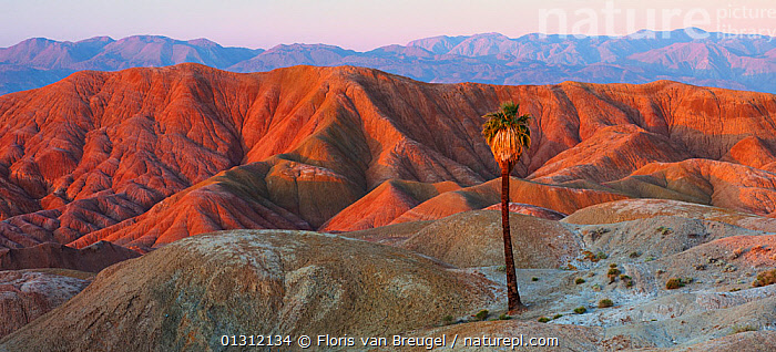 Panoramic view of a California Fan Palm Tree  within the Anza Borrego NP desert, California, USA, April 2009, DESERTS,DRAMATIC,LANDSCAPES,MOUNTAINS,NORTH AMERICA,NP,OASIS,PALMAE ,PANORAMIC,USA,National Park,endemic, Floris van Breugel