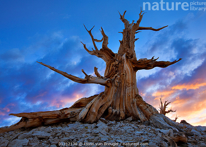 Ancient Bristlecone Pine tree (Pinus longaeva) at sunset. White Mountains, California, USA, June 2009, ancient,BARK,California,catalogue3,CLOUDS,cloudy,CONIFEROUS,CONIFERS,danger,DRAMATIC,DUSK,Eerie,Evening,haunting,LANDSCAPES,low angle view,nature,Nobody,NORTH AMERICA,outdoors,PINACEAE,PORTRAITS,sinister,SKIES,SKY,spooky,SUNSET,tree trunk,TREES,USA,White Mountains,Plants,Weather, Floris van Breugel