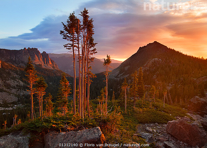 Wind stripped trees in dawn light, Rocky Mountain National Park, Colorado, USA, August 2009, COLOURFUL,DAWN,DRAMATIC,LANDSCAPES,MOUNTAINS,NORTH AMERICA,NP,TREES,USA,National Park,PLANTS, Floris van Breugel