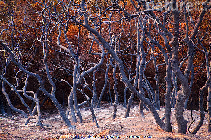 Burnt trees after a station fire near Los Angeles, Southern California, USA, September 2009, burnt,California,catalogue3,close up,CLOSE UPS,COLOURFUL,FIRE,fire damage,full frame,gnarled,LANDSCAPES,Los Angeles,nature,Nobody,NORTH AMERICA,outdoors,Southern California,TREES,twisted,USA,PLANTS, Floris van Breugel