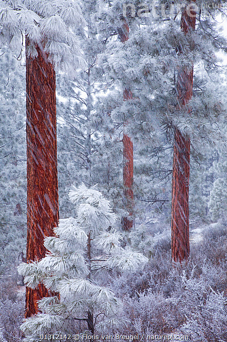 Ponderosa Pine trees (Pinus ponderosa) coated in frost, during heavy snowfall, Deschutes National Forest, Oregon, USA, December 2009, bad weather,Blizzard,catalogue3,COLD,CONIFERS,Deschutes National Forest,FORESTS,FROST,GYMNOSPERMS,LANDSCAPES,National Forest,nature,Nobody,NORTH AMERICA,oregon,outdoors,PINACEAE,PINES,PLANTS,Scenic,SNOW,snowfall,snowstorm,tree trunk,TREES,USA,WEATHER,WINTER,woodland, Floris van Breugel