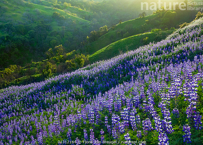 Lupins (Lupinus sp) flowering on a hillside in Spring, California, USA, April 2010, BLUE,DICOTYLEDONS,FABACEAE,FLOWERS,HILLS,LANDSCAPES,LEGUME,NORTH AMERICA,PLANTS,PURPLE,SPRING,USA, Floris van Breugel