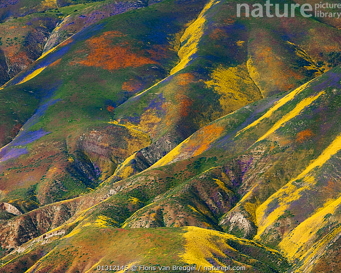 Aerial view of spring wildflower displays, Phacelia (purple) San Joaquin Blazing Star (orange) and Coreopsis (yellow) Temblor Range, Carrizo Plain National Monument in California, USA, April 2010, ABSTRACT,AERIALS,COLOURFUL,DRAMATIC,FLOWERS,LANDSCAPES,MOUINTAINS,NORTH AMERICA,PURPLE,USA,YELLOW, Floris van Breugel