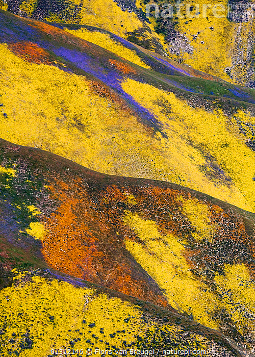 Aerial view of spring wildflower displays, Phacelia (purple) San Joaquin Blazing Star (orange) and Coreopsis (yellow) Temblor Range, Carrizo Plain National Monument in California, USA, April 2010, ABSTRACT,COLOURFUL,DRAMATIC,FLOWERS,LANDSCAPES,NORTH AMERICA,SPRING,USA, Floris van Breugel