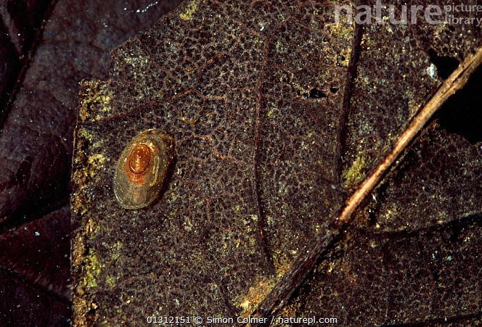 Lake limpet (Acroloxus lacustris) on decomposing leaf, underwater, Sussex, UK  ,  ACROLOXIDAE,CAMOUFLAGE,ENGLAND,FRESHWATER,GASTROPODS,INVERTEBRATES,LAKES,LIMPETS,MOLLUSCS,SNAILS,TEMPERATE,UK,UNDERWATER,Europe,United Kingdom  ,  Simon Colmer