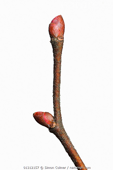 Large leaved lime (Tilia platyphyllo) twig and buds in winter, UK, CLOSE UPS,CUTOUT,DICOTYLEDONS,PLANTS,STUDIO,TILIACEAE,UK,VERTICAL,WINTER,Europe,United Kingdom, Simon Colmer