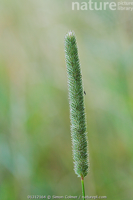 Timothy grass (Phleum pratense) single stem, Woods Mill Nature Reserve, Sussex, UK  ,  CLOSE UPS,ENGLAND,GRASSES,GREEN,MONOCOTYLEDONS,PLANTS,POACEAE,RESERVE,UK,VERTICAL,Europe,United Kingdom  ,  Simon Colmer
