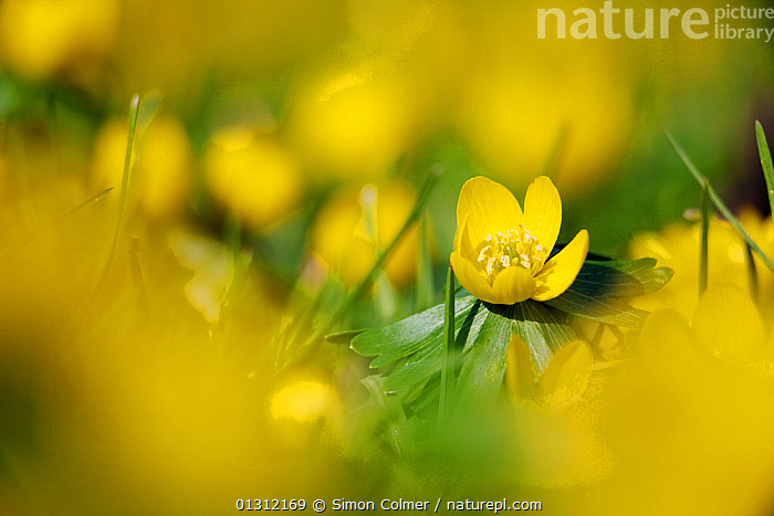 Winter Aconite (Eranthis hyemalis) flowering, Brighton, Sussex, UK. February, CLOSE UPS,DICOTYLEDONS,ENGLAND,FLOWERS,PLANTS,RANUNCULACEAE,UK,WINTER,YELLOW,Europe,United Kingdom, Simon Colmer