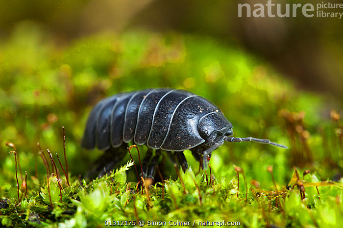 Pill woodlouse (Armadillidium vulgare) portrait,   Sussex, UK, March  ,  ARTHROPODS, CLOSE-UPS, CRUSTACEANS, ENGLAND, INVERTEBRATES, ISOPODS, PORTRAITS, SPRING, UK, WALKING, WOODLICE,Europe,United Kingdom  ,  Simon Colmer