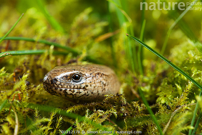 Slow-worm (Anguis fragilis) head portrait in the grass, Sussex, UK, April, ANGUID LIZARDS,CLOSE UPS,ENGLAND,LIZARDS,PORTRAITS,REPTILES,SPRING,UK,VERTEBRATES,VERTICAL,Europe,United Kingdom,,Lizards,,,Lizards,, Simon Colmer