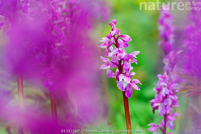 Early Purple Orchids (Orchis mascula) flowering,  Hollingbury Ring, Brighton, Sussex, UK, May  ,  brighton,catalogue4,close up,CLOSE UPS,differential focus,early flowering,ENGLAND,flowerhead,flowering,FLOWERS,focus on background,Holingbury Ring,in bloom,MONOCOTYLEDONS,nature,Nobody,ORCHIDACEAE,orchids,PINK,PLANTS,PURPLE,selective focus,SPRING,Sussex,UK,VERTICAL,Europe,United Kingdom  ,  Simon Colmer