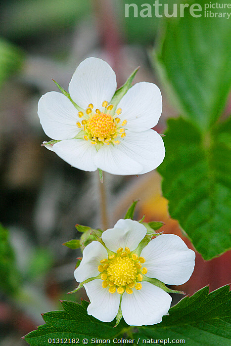 Wild strawberry (Fragaria vesca) flowering, Wild Park Local Nature Reserve, Brighton, Sussex, UK, May, CLOSE UPS,DICOTYLEDONS,ENGLAND,FLOWERS,PLANTS,RESERVE,ROSACEAE,SPRING,TWO,UK,VERTICAL,WHITE,Europe,United Kingdom, Simon Colmer