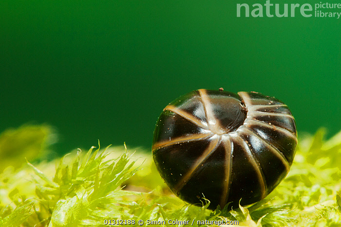 Pill Millipede (Glomeris marginata) curled up for protection, Sussex, UK, June  ,  ARTHROPODS,BEHAVIOUR,CLOSE UPS,DEFENSIVE,DIPLOPODA,ENGLAND,INVERTEBRATES,MILLIPEDES,MYRIAPODS,SUMMER,UK,Europe,United Kingdom  ,  Simon Colmer