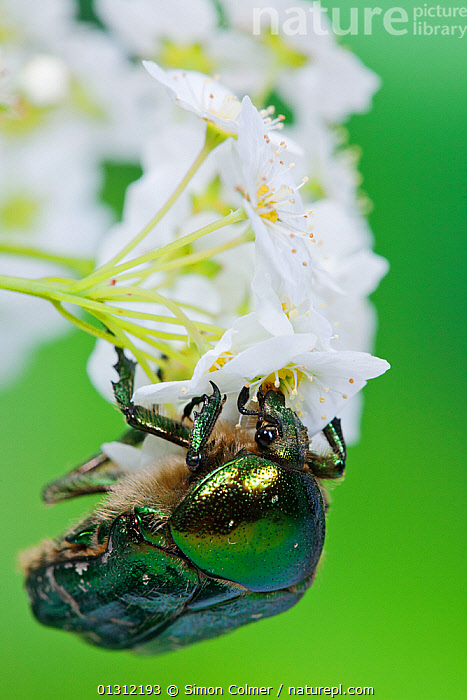 Rose chafer beetle (Cetonia aurata) feeding on flowers, Sussex, UK, June, BEETLES,CHAFERS,CLOSE UPS,COLEOPTERA,COLOURFUL,ENGLAND,FEEDING,FLOWERS,INSECTS,INVERTEBRATES,IRRIDESCENCE,SUMMER,UK,VERTICAL,Europe,United Kingdom, Simon Colmer