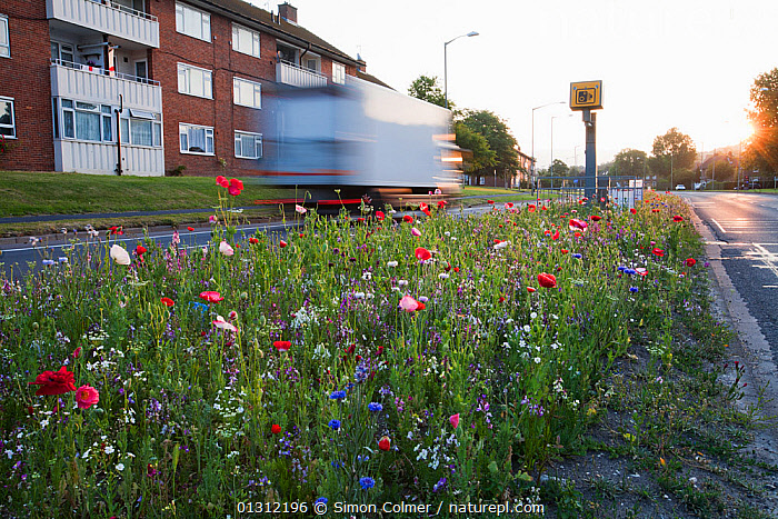 Wildflowers, including Poppies (Papaver) flowering, planted in central reservation / road verge, Brighton, Sussex, UK, June 2010, blurred motion,brighton,building exterior,catalogue4,central reservation,CITIES,CULTIVATED,DICOTYLEDONS,ENGLAND,flowering,FLOWERS,lorry,nature,Nobody,on the move,PAPAVERACEAE,PLANTS,road,ROADS,roadside,SUMMER,Sussex,TRAFFIC,truck,UK,URBAN,VEHICLES,verge,Wildflower,Europe,United Kingdom, Simon Colmer