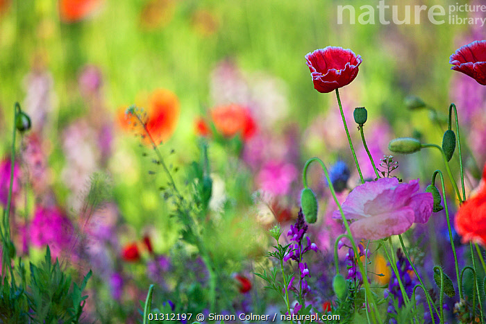 Wildflowers, including Poppies (Papaver) flowering, planted in central reservation / road verge, Brighton, Sussex, UK, June, COLOURFUL,DICOTYLEDONS,ENGLAND,FLOWERS,PAPAVERACEAE,PLANTS,ROADS,SUMMER,UK,URBAN,Europe,United Kingdom, Simon Colmer